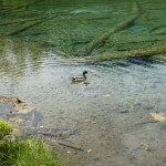 Enten am Riedener See